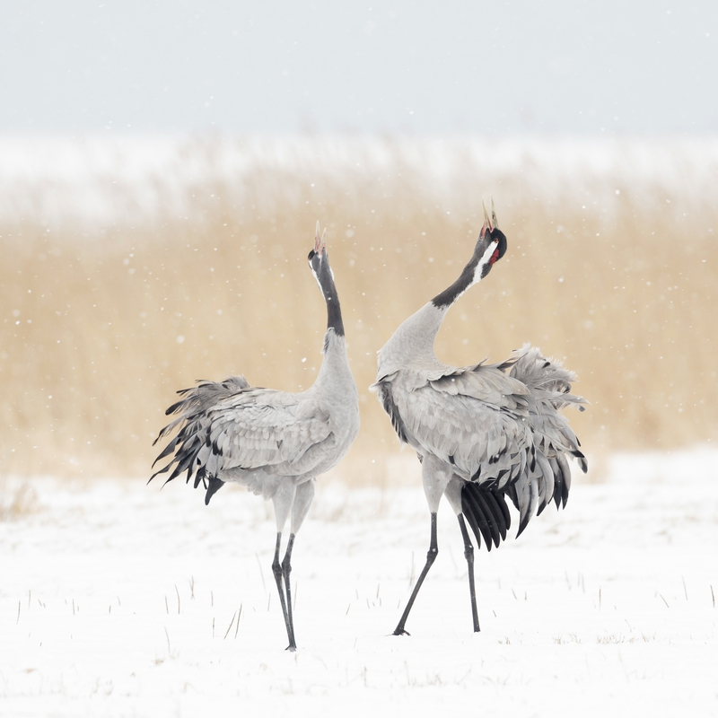kraanvogel ark natuurontwikkeling