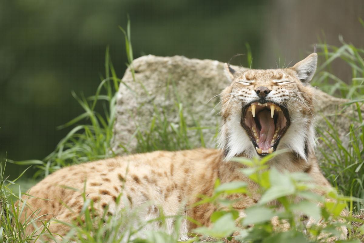 Lynx Ark Natuurontwikkeling