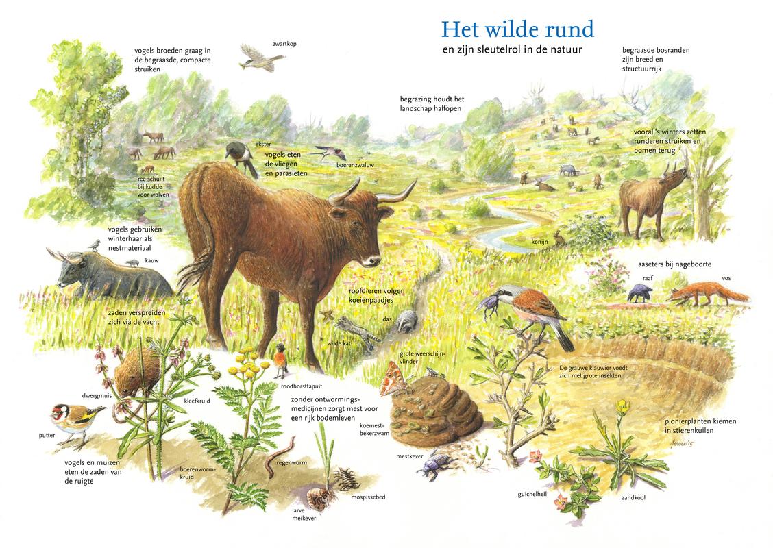 De Sleutelrol Van Paard En Rund Ark Natuurontwikkeling