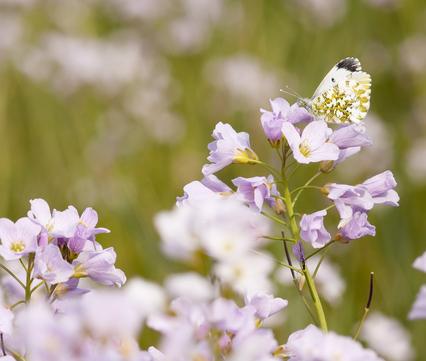 Pinksterbloemen Foto Bob Luijks