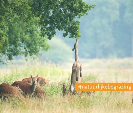 Edelherten. Foto: Bob Luijks, Natuurportret