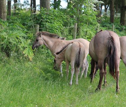 Konikpaarden eten reuzenberenklauw op de Slikken van Heen