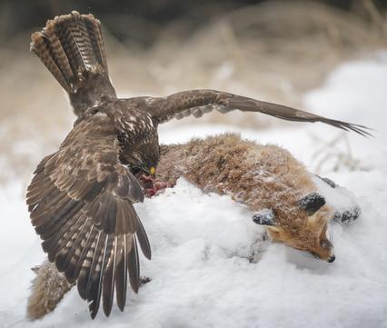 Buizerd op vossenkadaver. Foto: Neil Burton