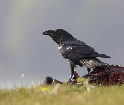 Dood doet Leven: Raaf op kadaver. Foto: Bildagentur Zoonar