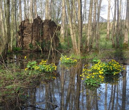 Voorjaarsbeeld uit de Vuilbemden met dotterbloemen: een bijzonder nat natuurgebied in een oude Maasmeander.