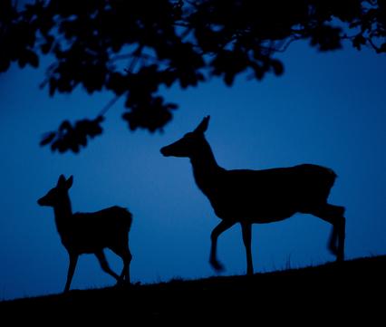 Edelherthinde en kalf. Foto: Paul Hobson, Nature in Stock