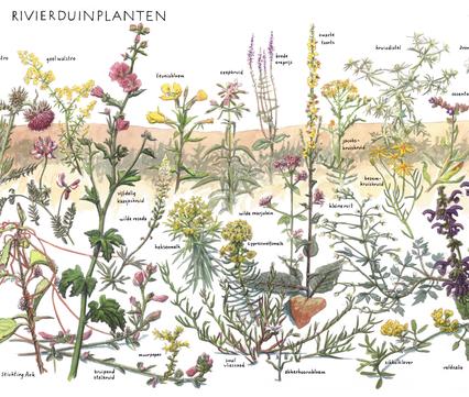 Zoekkaart Rivierduinplanten