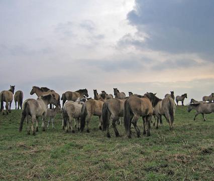 Konikpaarden op de Rug in Roosteren, foto Patrick van de Burg / FREE Nature