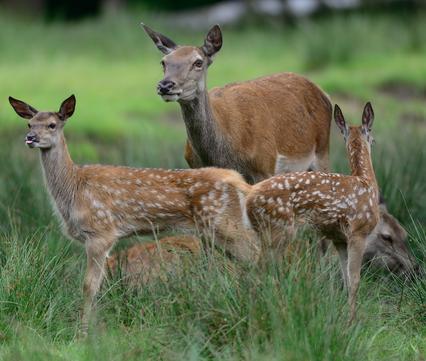 Hinde met edelhertkalfjes. Foto: Shutterstock