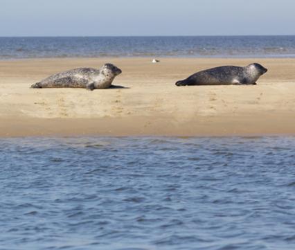 Zeehonden op de Hinderplaat