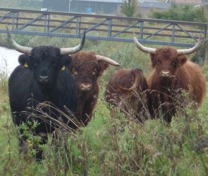 Schotse hooglanders langs het riviertje de Koedood