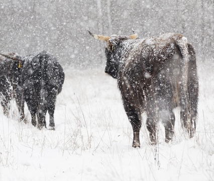 Taurossen in de sneeuw