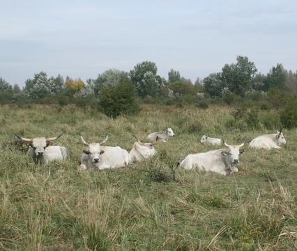 Slavonische runderen