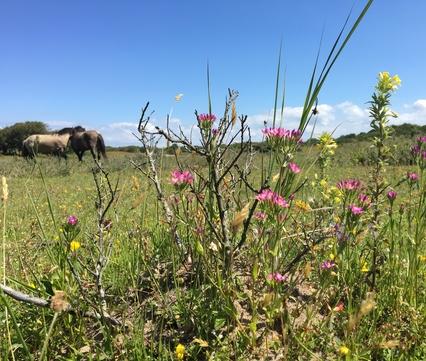 Paardenspoor met planten in duinvallei Oranjezon. Foto: Esther Linnartz, FREE Nature