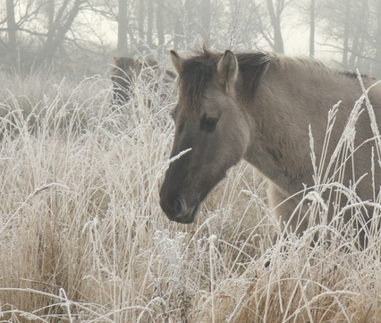 Landtong konik in de winter