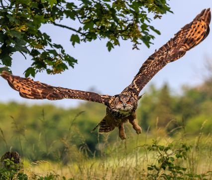 Een jagende oehoe. Foto: Richard Whitcombe