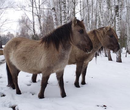Konik horses in Beremytske