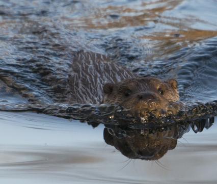 Zwemmende otter, foto: Hugh Jansman