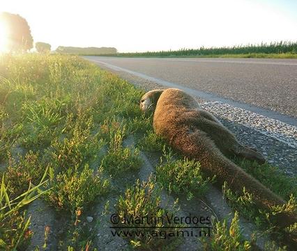 Dode otter in de Ooijpolder, foto: Martijn Verdoes