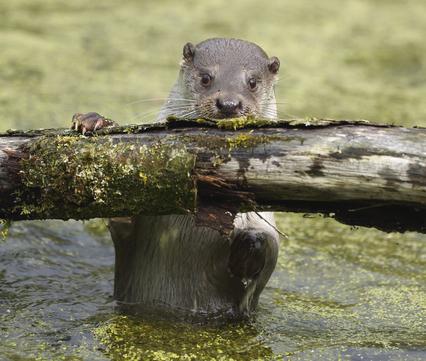 Otter. Foto: Ronald Pol