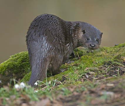 Otter. Foto: Roger Tidman, Nature in Stock