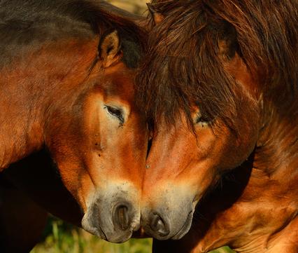 Wild paard Staffan Widstrand / Rewilding Europe