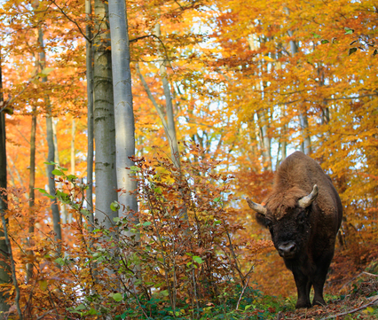 Wisent, foto: Grzegorz Lesniewski - Rewilding Europe