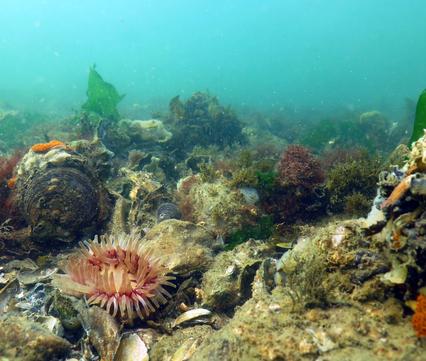 Planten, vissen en andere zeedieren maken dankbaar gebruik van de riffen die schelpdieren vormen.
