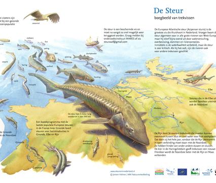 De steur is hét boegbeeld van trekvissen