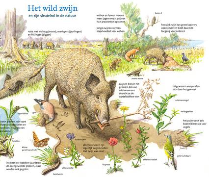 Wild zwijn en zijn sleutelrol in de natuur