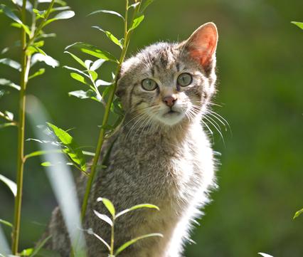 Jonge wilde kat