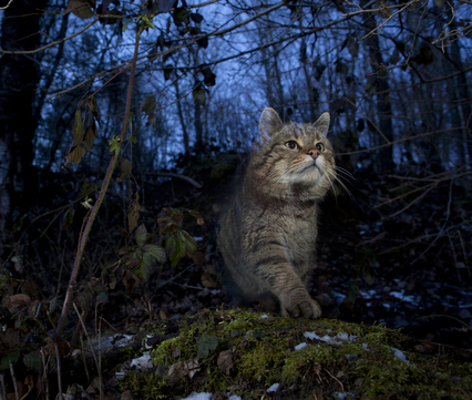Europese wilde kat. Foto: Klaus Echle, Nature in Stock