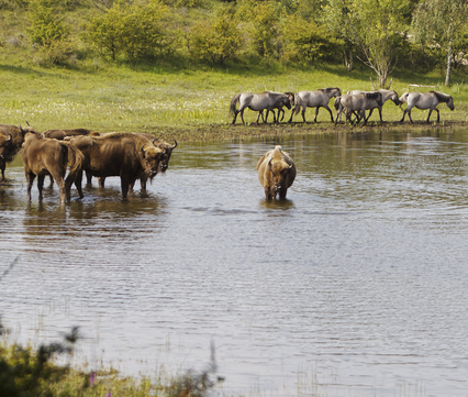 wisent en konik samen bij het water, foto: Ruud Maaskant, PWN