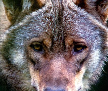 Boek De Wolf kom terug, uitgeverij Kosmos
