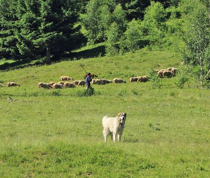 Schaapskudde met herder en kuddewaakhond in Roemenië.