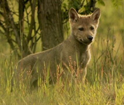 Wolf, still Sebastian Koerner