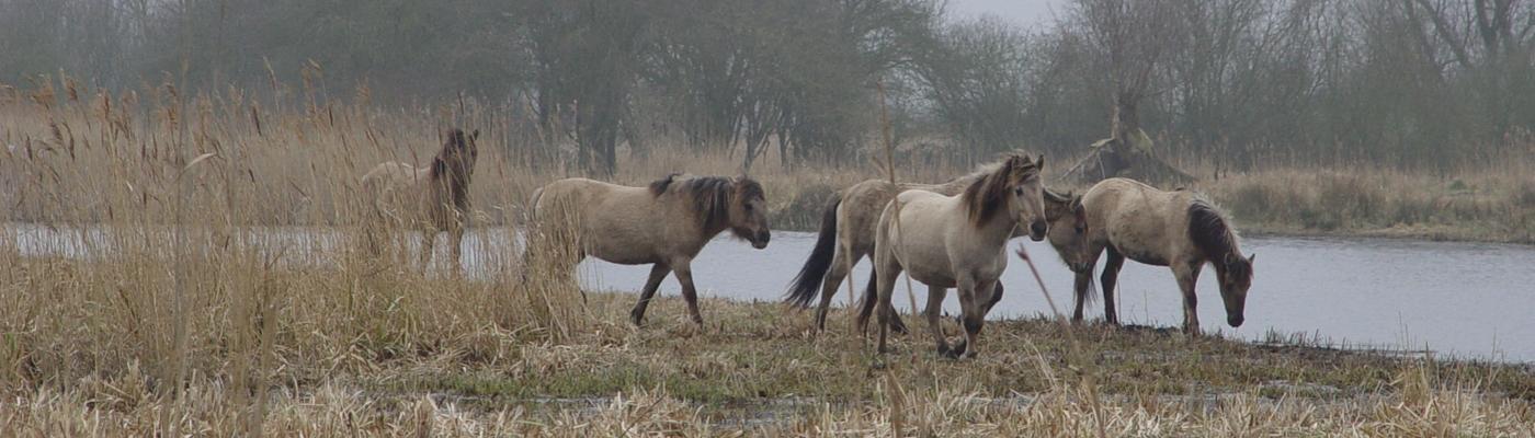 Konikpaarden in Wicken Fenn, Groot Brittannië