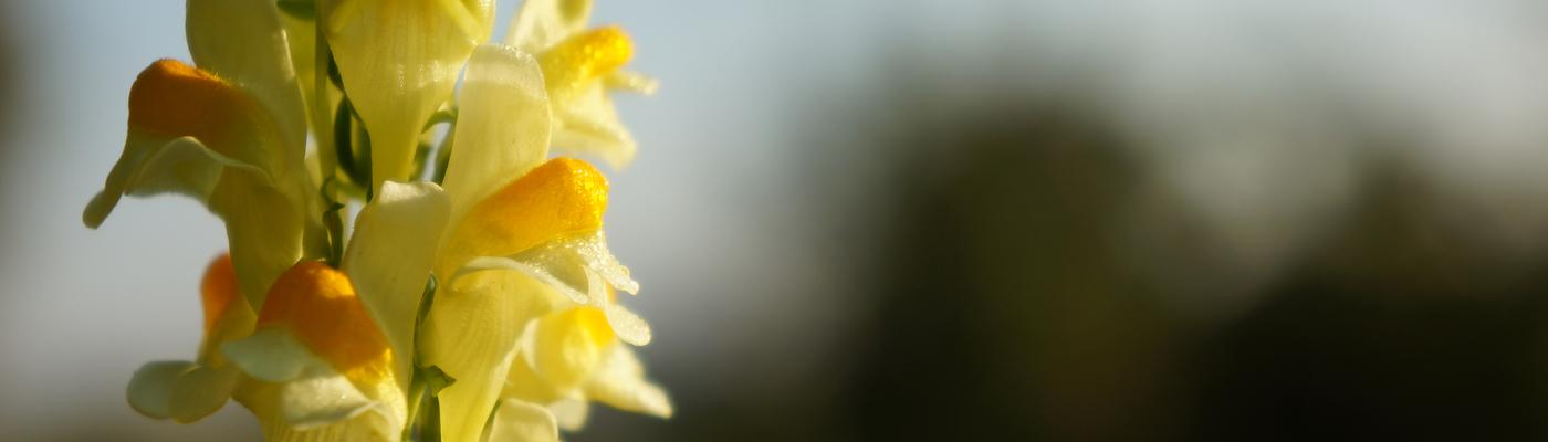 Bloemen Vlasbekje