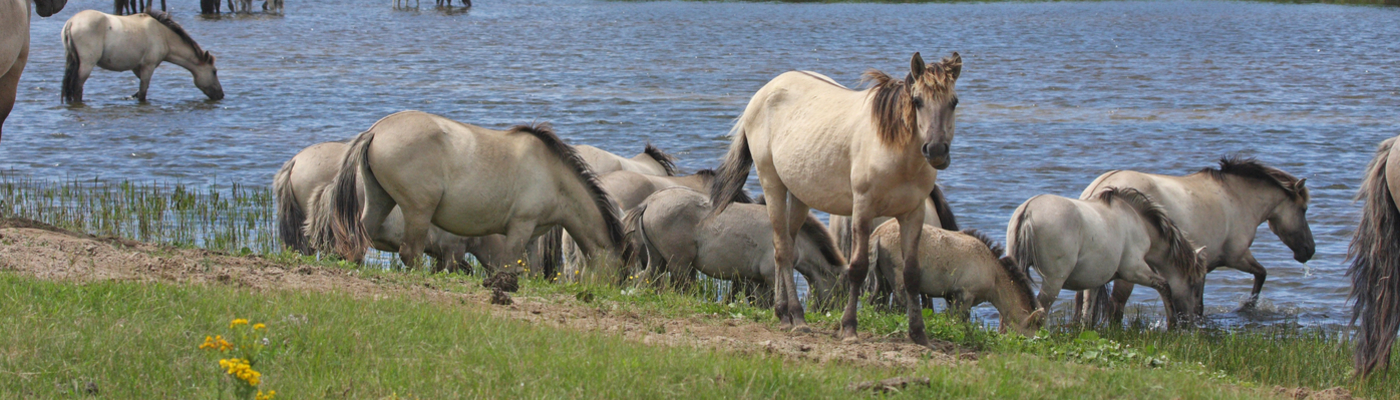 Grote kudde konikpaarden, Oostvaardersplassen