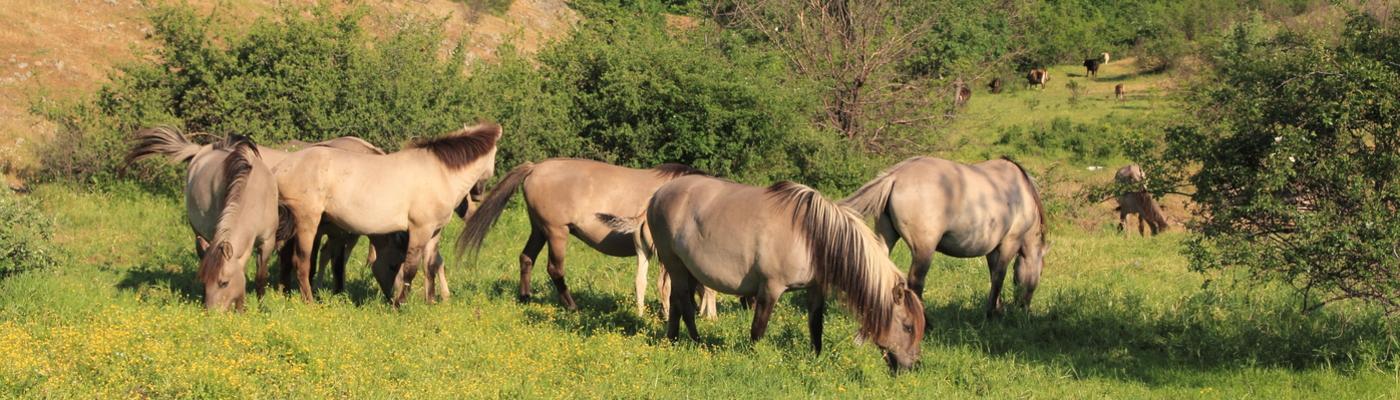 Konikpaarden in Bulgaarse Rhodopen