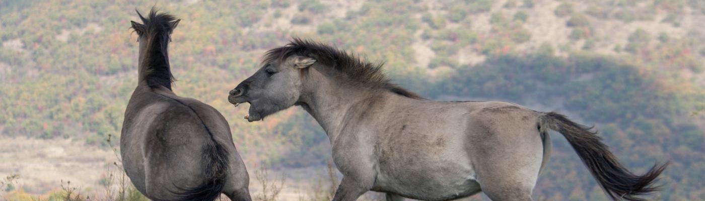Konikpaarden in de Bulgaarse Rhodopen. Foto: Ivo Danchev