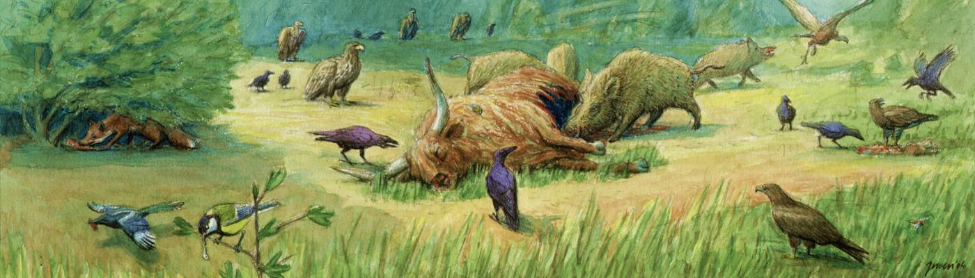 Dode hooglander met aaseters, dood doet leven
