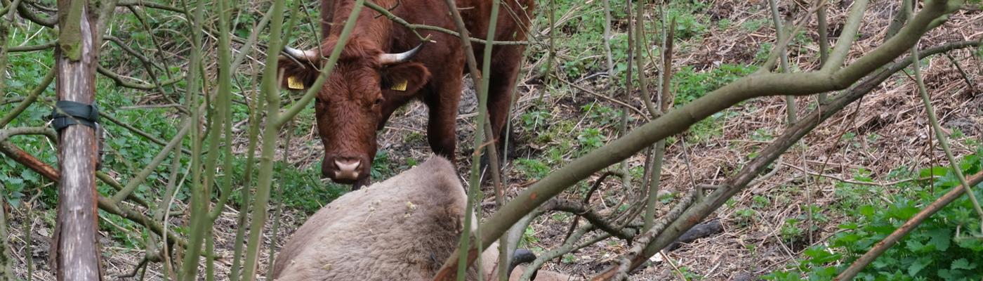 Rode geusrund bij een dode wisent. Foto: Esther Linnartz-Nieuwdorp, FREE Nature