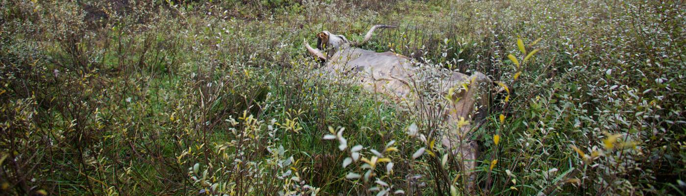 Een dood Heckrund wordt opgenomen in de natuurlijke kringloop