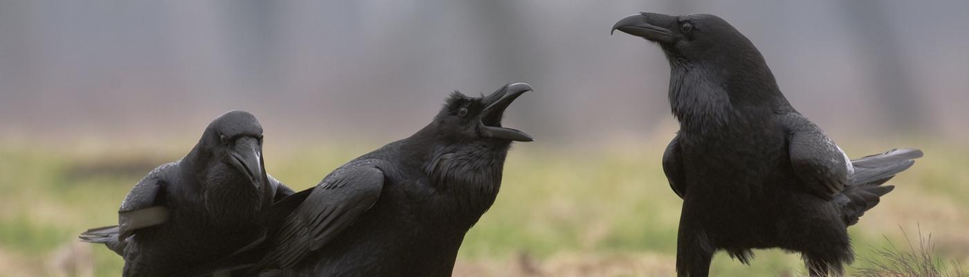 Raven op kadaver
