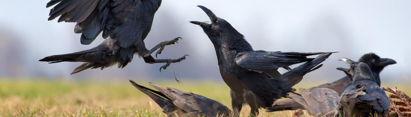 Raven op een kadaver. Foto: Nick Vorobey