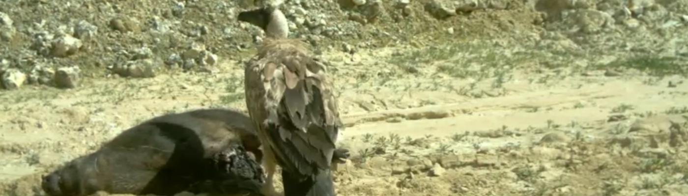 Vale gier op Zwijn