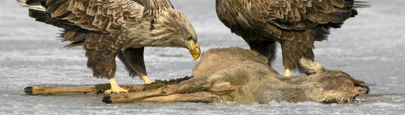 Zeearenden bij dode ree. Foto: Willi Rolfes