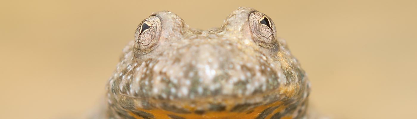 Geelbuikvuurpad, foto Douwe Schut