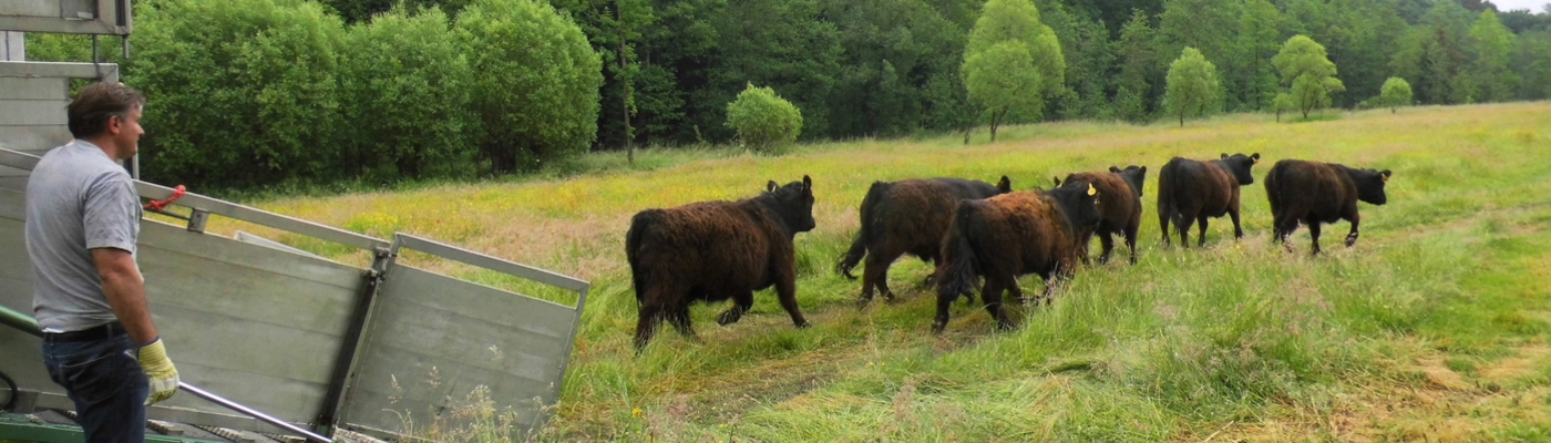 Galloways arriveren in het Geuldal bij Plombières